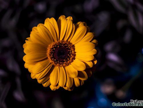 Gele Gerbera